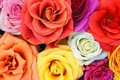 rose-colorate-1