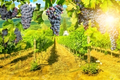 Picturesque vineyard at sunset
